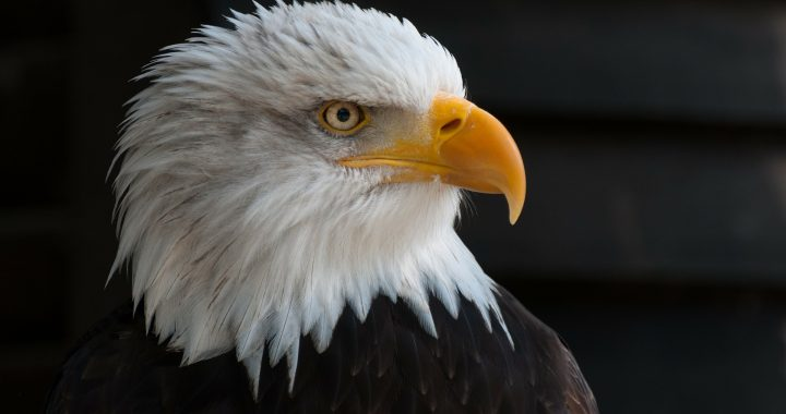 bald-eagle-facts